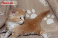 Mainská mývalí koťátka s PP 248368