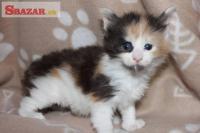 Mainská mývalí koťátka s PP 248369