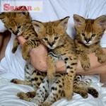 Savannah mačiatka