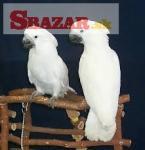 Umbrella kakadu papagáje hľadajú nový domov