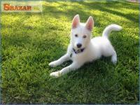 Predám krásne šteniatka Sibírsky Husky