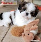 Dobré a pekné SHIIH TZU šteňa pripravené na n