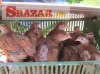 Brojlerové kurčatá, Kalimero 250762