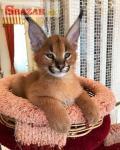 Savannah mačiatka Serval k dispozícii a Caracal