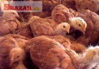 Kalimero kurčatá