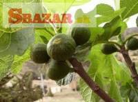 Predaj figovníkov
