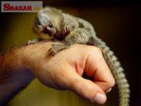 Opice marmoset pre adopciu.