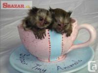 Opice marmoset pre adopciu. 252893