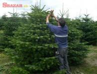 Vianočný strom, borovica: Jedľa nordmannova, Je