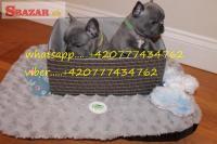 Na predaj šteniatka modrého francúzskeho buldo� 253131