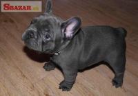 Na predaj šteniatka modrého francúzskeho buldo� 253133