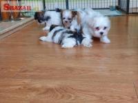 K dispozícii maltské šteniatka 253141