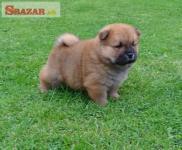 K dispozícii Chow Chow Puppies pripravené na pre 253144