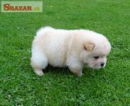 K dispozícii Chow Chow Puppies pripravené na pre 253145