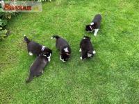 Čisté plemeno šteniat Sibírske husky je teraz