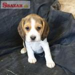 Zaregistrované krásne šteniatka Beagle
