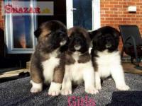 Akita Pups k dispozici