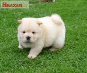 krásne šteňa čau šteňa k dispozícii na adop