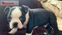 Ohromujúce šteniatka Boston Terrier.
