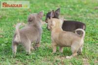 Nádherné šteniatka čivavy samcov a samíc