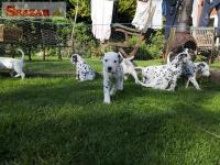Akc Dalmatians Puppies