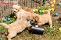 Roztomilé šteniatka so zlatým retreiverom