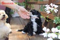 Roztomilé a roztomilé havanese puppies