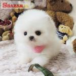 na predaj nádherné šteniatka špiclianskeho