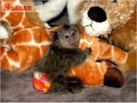 nočník kozačky kozmos, predaj opíc