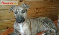 štěňata greyhounda s PP 256319