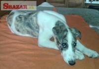 štěňata greyhounda s PP 256320