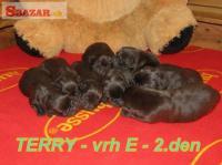 Čokoládový labrador 256844