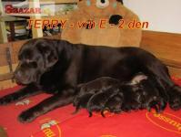 Čokoládový labrador 256845