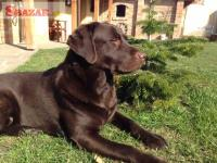 Čokoládová šteňatá Labrador retriever s PP