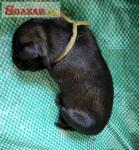 Šarplaninský pastevecký pes, štěně s PP, pro