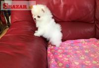Predam čistokrvné šteniatko pomeranian mini Boo