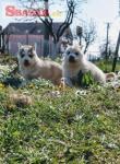 Sibírsky husky šteniatka
