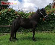 Falabella minihorse