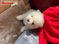 Krásne šteniatka pomeranian 260227
