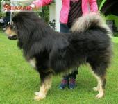 Tibetská doga - šteniatka k odberu po 15.11.2020 260346