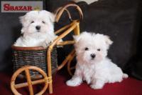 Milé a zdravé maltézske šteniatka k dispozíci