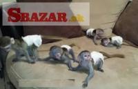 Krásné kapucínské opice na prodej.