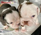 Anglický buldog psy a šteniatka na predaj