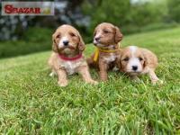 Krásne šteňatá Cavapoo 262514