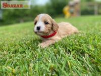 Krásne šteňatá Cavapoo 262516