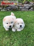 Krásne šteniatka Chow Chow pre dobrý domov 262527