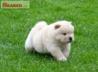Krásne šteniatka Chow Chow pre dobrý domov 262528