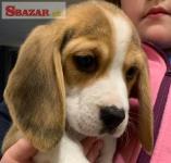 Krásne šteniatka bígla pre dobrý domov 262531