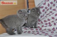 Nádherné modré britské mačiatka Gccf Reg 263921