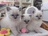 Krásne rodokmeň Ragdoll mačiatka 263923